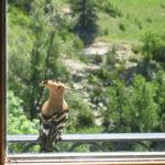 La huppe au balcon